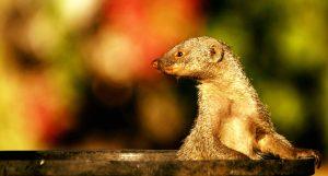 Wilde dieren - ZaZoe Xperience - mangoeste