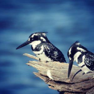 Vogels - ZaZoe Xperience - pied kingfishers