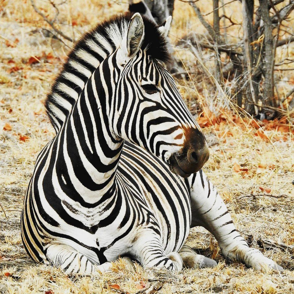 Wilde dieren - ZaZoe Xperience - burchell zebra