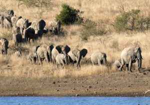 Wilde dieren - ZaZoe Xperience - olifanten op weg naar water