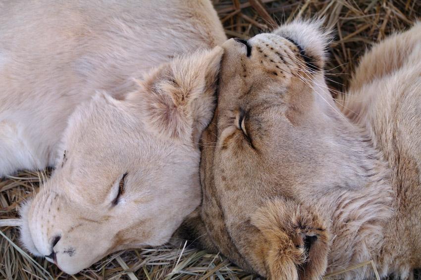 Wilde dieren ZaZoe Xperience - witte & bruine leeuw