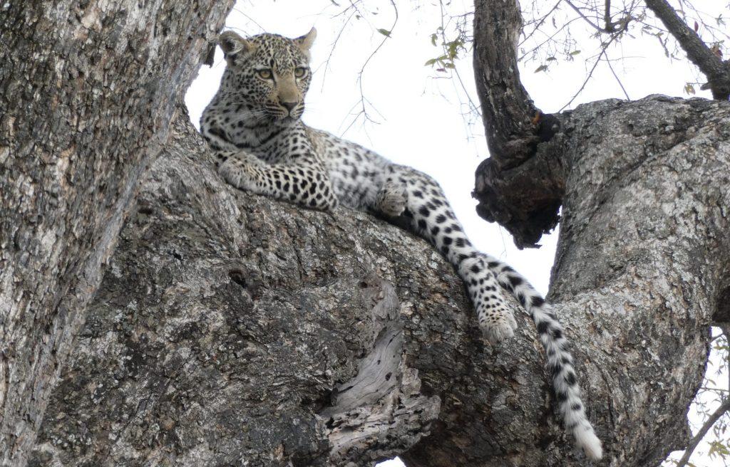 Wilde dieren - ZaZoe Xperience - luipaard relaxt in boom