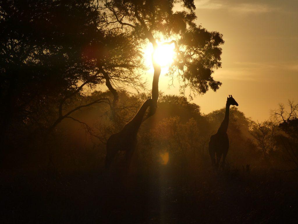 Wilde dieren ZaZoe Xperience - giraffen in prachtlicht