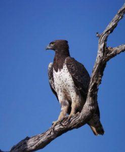 Vogels - ZaZoe Xperience - vechtarend