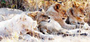 Wilde dieren - ZaZoe Xperience - slapende leeuwen