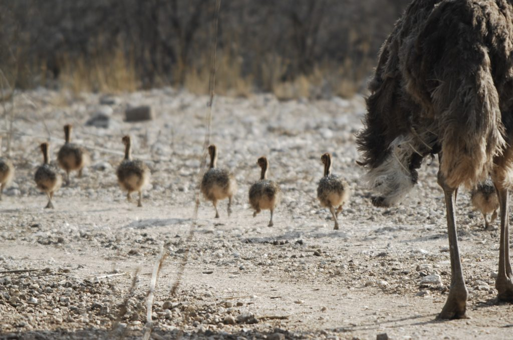Vogels - ZaZoe Xperience - struisvogel met kuikens