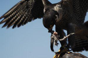 Vogels - ZaZoe Xperience - peregrine falcon