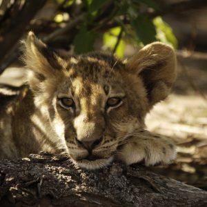 Wilde dieren - leeuwen welp