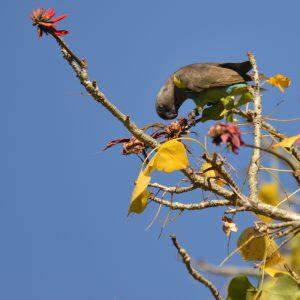 Vogels - ZaZoe Xperience - bushveld parrot