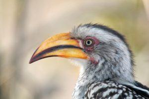 Vogels - ZaZoe Xperience - neushoornvogel